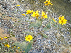 022 (en-ri) Tags: fiorellini little flowers giallo sony sonysti acqua water torrente rio