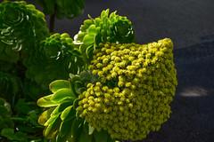 Aeonium arboreum (JZ_Photography) Tags: aeoniumarboreum zwartkop newzealand dunedin otago flower nikon5500 larnachcastle garden botany