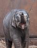 asiatic elephant Sanuk artis JN6A0609 (j.a.kok) Tags: olifant elephant elephasmaximus aziatischeolifant asiaticelephant sanuk herbifor azie asia mammal zoogdier