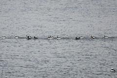 Bufflehead (Terrance Carr) Tags: 201201 brunswick ferry dncb port terry carr 20120109 2012 january terrycarr