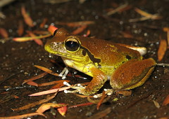 Lesueur's Stony Creek Frog (Litoria lesueuri) (Heleioporus) Tags: lesueurs stony creek frog litoria lesueuri south sydney new wales