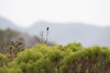 DSC_7403 (mylesm00re) Tags: f africa anthobaphesviolacea gantouwpass hottentotshollandnaturereserve nectariniidae orangebreastedsunbird oranjeborssuikerbekkie southafrica westerncape za bird
