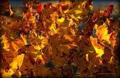 Le feuilleté de raisins (Dominique Dumont Willette) Tags: feuilles automne soleil lumière raisin vigne paca bouchesdurhône aixenprovence sainte victoire sudest feuillage jaune orange rouge végétation