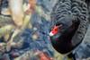 Black swan. (Carlos Arriero) Tags: puertodelacruz tenerife españa loroparque cisne cisnenegro blackswan ave pájaro bird dof bokeh nikon d800e tamron 70200mm nature naturaleza f28 animal vida life swan