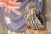Barking Owl (Andrew John Clark) Tags: owl australia flag bird d810 nikon tamron 2470 barkingowl yelloweyes shed