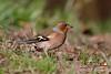_F0A8060.jpg (Kico Lopez) Tags: fringillacoelebs galicia lugo miño pinzóncomún spain aves birds rio
