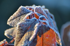 Frozen morning (dfromonteil) Tags: morning matin light lumière soleil winter hiver frozen gelé leaves feuilles ice brown marron rose macro bokeh nature