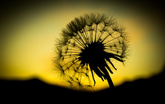 dandelion sunset (JC Roman10) Tags: allergy background beauty blow blowing change dandelion environment flower growth life nature plant season seed spring summer sun sunlight sunset weed wind screensaver texture focus blur green mountains