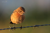Stonechat (Female) (gloverdave33) Tags: stonechat female lunt meadows