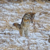 Coyote Hunting In Snow (dcstep) Tags: aurora colorado unitedstates us n7a1204dxo coyote wildcanine westerncoyote canon5dmkiv ef500mmf4lisii ef14xtciii allrightsreserved copyright2017davidcstephens dxoopticspro1131 nature urban urbannature sanctuary handheld pixelpeeper