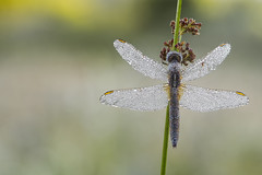 Feuerlibelle (HelmiGloor) Tags: feuerlibelle crocothemiserythraea segellibellen grosslibellen dragonfly dragonflies olympusem1 olympus focusbracketing focusstacking schweiz libellen