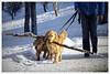 my stick (Wanderfull1) Tags: confederationpark winter 2017 calgary dog walk stick labrador dogs goldenlab treebranch