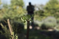 Sprout (Curro Chompis) Tags: green scarecrow sprout planta tallo retoño espantapajaros