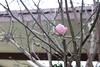 (emilyvitanatchi) Tags: pv palosverdes bloom pink flower blossom tree ruleofthirds rot