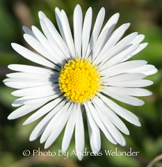 DSC04734 (Photo By Andreas Welander) Tags: photobyandreaswelander sweden sverige sony sonya65 stockholm djurgården pictures picturesoftheday water sea flower blommor