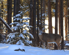 winter grazing (fred.colbourne) Tags: deer snow trees forest banffnationalpark alberta canada wildlife