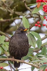blackbird (colin 1957) Tags: blackbird berries bury