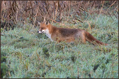 Red Fox (image 1 of 2) (Full Moon Images) Tags: woodwalton fen greatfen bcn wildlife trust nnr national nature reserve cambridgeshire animal mammal red fox