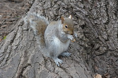 squirrel (kyry2010) Tags: squirrel scoiattolo grigio grey animal animals parco del valentino