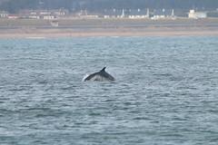 IMG_5615 (monika.carrie) Tags: monikacarrie wildlife scotland aberdeen dolphins dolphin cetacean mammal