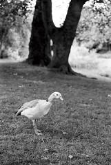 (Magdalena Dudek) Tags: blackandwhite animals analog 50mm duck ishootfilm 35mmfilm canonae1 canonae1p fd 100iso filmphotography ilfotecddx fujineopan filmisnotdead fujineopanacross100 fujiacross canonfd50mm
