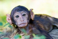 Bb macaque de Barbarie (Oric1) Tags: baby france nature de monkey la lot des tamron primate fort 46 rocamadour singe macaque singes magot midipyrnes barbarie oric1 150600mm macaquedebarbarie oric1france lafortdessinges