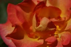 IMG_0850 (krissos.photography) Tags: roses nature minnesota rose landscape photography rosa arboretum mardigras rosegarden summersolstice naturephotography 2015 floribundarose seasonsummer minnesotalandscapearboretum minnesotaarboretum monthjune rosemardigras mardigrasrose 2008aarsfloribundarose