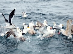 Feed time (nz_willowherb) Tags: boats see scotland fishing tour visit birdwatching shetland to go mousasound