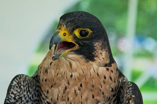 Peregrine Falcon CanadaDay _2015_07_01_13-18-22_DSC_3661_©LindsayBerger2015