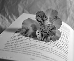 Parole, parole..... (pasta frolla) Tags: libro natura fiore lettura parole astromelia