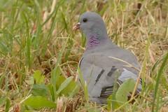 DSC_0110 Holenduif : Pigeon colombin : Columba oenas : Hohltaube : Stock Pigeon