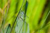 Common Bluetail - Pair - 9-23-14 - Bois de Vincennes, Paris, France (cricketsblog) Tags: animalia arthropoda odonata insecta lantaarntje zygoptera coenagrionidae ischnura bluetaileddamselfly hexapoda pterygota ischnuraelegans taxonomy:class=insecta taxonomy:kingdom=animalia taxonomy:order=odonata taxonomy:suborder=zygoptera taxonomy:family=coenagrionidae taxonomy:phylum=arthropoda taxonomy:subclass=pterygota taxonomy:genus=ischnura taxonomy:species=elegans grosepechlibelle coenagrionoidea taxonomy:binomial=ischnuraelegans taxonomy:common=bluetaileddamselfly taxonomy:subphylum=hexapoda taxonomy:common=grosepechlibelle taxonomy:superfamily=coenagrionoidea taxonomy:common=lantaarntje マンシュウイトトンボ taxonomy:common=マンシュウイトトンボ iscnuraelegante taxonomy:common=iscnuraelegante codazzurracomune taxonomy:common=codazzurracomune melissamcmasters
