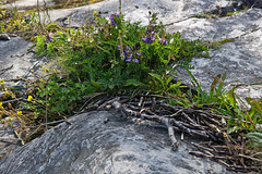 Abisko - grönt i bergsskreva / Abisko - green mountain crevice (srchedlund) Tags: flowers abisko norrbotten torneträsk njulla swedishlapland abiskocanyon abiskofjällstation srchedlund abiskomountainstation