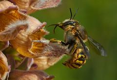 Grote Wolbij, Anthidium manicatum, op digitalis (hansKiek) Tags: wild thenetherlands digitalis bee nl tuin abeille biene grote zuidholland anthidium sgravenhage manicatum wollbiene wolbij