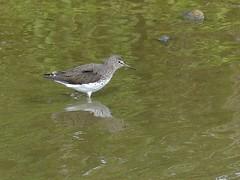 P1130056 - Cropped (ianpreston) Tags: birds wales tringa rare greensandpiper tringaochropus welshpool