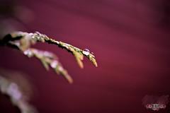 Intense Red (andreea_loredana) Tags: flower red focus macro intense andreealoredanamihailiuc nikon superbe 2016 photography water