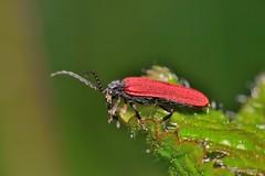 Benibotarus (Benibotarus) alternatus (Fairmaire, 1856) (Jesús Tizón Taracido) Tags: coleoptera polyphaga elateriformia elateroidea lycidae benibotarusalternatus