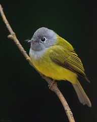 Grey Headed Canary Flycatcher (Madhav Jois) Tags: grey headed canary flycatcher ooty bird