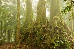 Forest Mist (armct) Tags: rainforest subtropical gondwanaland hinterland goldcoast springbrook antarctic beech gnarled mist summer golden green nikon d90 1635mm moss ancient trunks