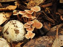 Phallus multicolor eggs and unknown agaric (Jackson Nugent) Tags: fungus fungi phallaceae phalloid agaric mushroom stinkhorn