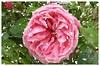 Die Zeit ist nun gekommen (amras_de) Tags: rose rosen ruža rosa ruže rozo roos arrosa ruusut rós rózsa rože rozes rozen roser róza trandafir vrtnica rossläktet gül blüte blume flor cvijet kvet blomst flower floro õis lore kukka fleur bláth virág blóm fiore flos žiedas zieds bloem blome kwiat floare ciuri flouer cvet blomma çiçek zeichnung dibuix kresba tegning drawing desegnajo dibujo piirustus dessin crtež rajz teikning disegno adumbratio zimejums tekening tegnekunst rysunek desenho desen risba teckning çizim