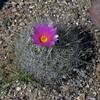 Thelocactus macdowellii (l.e.violett) Tags: cactus flower cultivated thelocactus macdowellii arizona pse