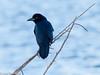 Blackbird in the Blue Bokeh - HWW (11Jewels) Tags: canon 70300 blackbird wadingbirdway circlebbarreserve lakelandfl florida wingwednesday