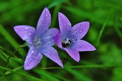 Wild Flower (Hugo von Schreck) Tags: hugovonschreck flower blume blüte macro makro outdoor wildflower wildblume canoneos5dsr tamron28300mmf3563divcpzda010 givemefive