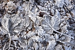 Winterbode/Winter messenger (roelivtil) Tags: winter leafs rijp monochrome blackwhite mbt zwartwit ripe