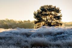 Leuchtender Heidebaum (webpinsel) Tags: halternamsee kälte landschaft morgenstimmung natur sonnenaufgang sythen westruperheide winter