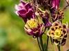 The end is near (Deter Stoibl) Tags: germering stegmairstrasse herbst autumn garden wiese garten leben life colours farben blüte bloom flower blume verblüht faded