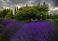 Lavender (Farhat M) Tags: lavenderfields clouds landscape trees bushes streakingsun canon 5dmkiv 1635mm leefilters nature daylesford victoria flowerbed serene field outdoor depth depthoffield plant flower bright