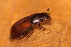 Iztrebkar (natalija2006) Tags: aphodius hrošč iztrebkar minute dung beetle aphodiidae iztrebkarji pritlikavi govnači scarabaeoidea pahljačniki polyphaga coleoptera hrošči gozd forest narava nature slovenia