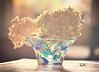 A little sweetness in life (Sizun Eye) Tags: hortentsia sweetness flowers light nikond750 nikon d750 sigma sigma105mmf28macro 105mm sizuneye naturemorte stilllife